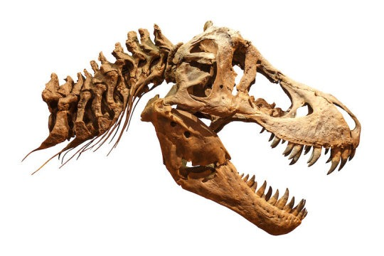 T. rex had an 'air conditioner' in its head, study says