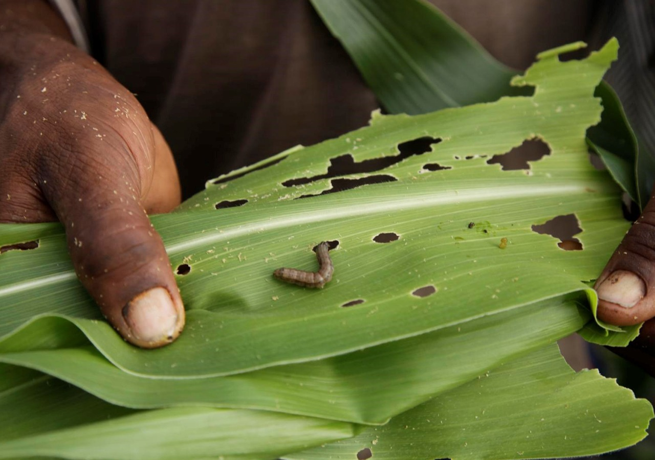 Fall Armyworm in Nepal: Techniques To Keep The Worm at Bay