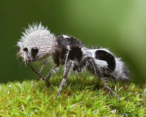 The image of a Panda Ant