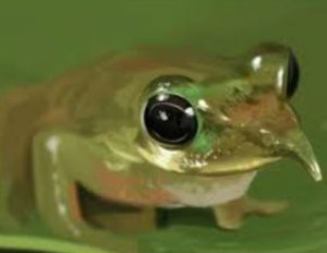 The image of a Pinocchio Frog