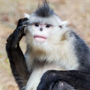 The photo of a Snub-nosed monkey