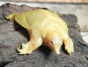 10 weird animals: The photo of a chinese softshell turtle