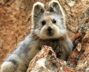 The picture of an Ili Pika