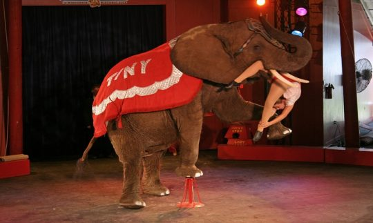 Circus elephant retirement