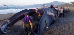 Things You Need To Know About Antarctic Blue Whales